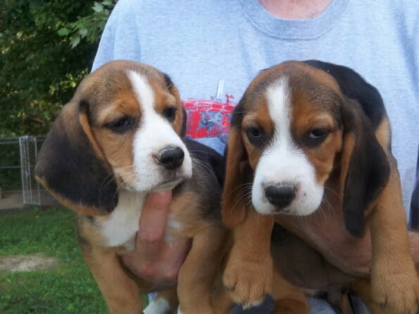 beagle pet delivery