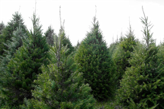 Send Christmas trees with Roadie's business shipping services